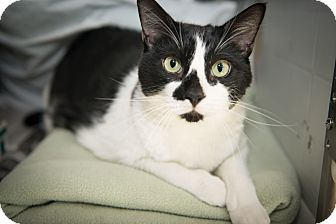 Domestic Shorthair Cat for adoption in New York, New York - Sawyer