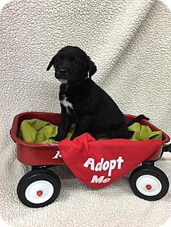 Labrador Retriever Mix Puppy for adoption in Plainfield, Illinois - Teddy