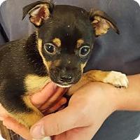 Adopt A Pet :: Polo - Potomac, MD