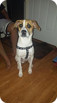 Labrador Retriever/Beagle Mix Dog for adoption in Hayes, Virginia - Patch