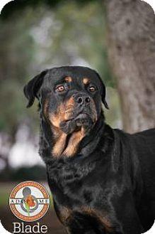 Rottweiler Dog for adoption in Oceanside, California - Blade