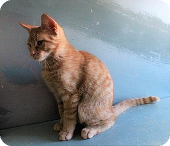 Domestic Shorthair Cat for adoption in West Des Moines, Iowa - Sammie