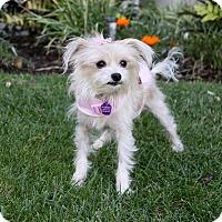 Adopt A Pet :: LUCILLE - Newport Beach, CA
