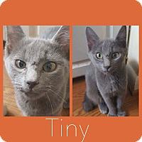 Adopt A Pet :: Tiny - New Milford, CT