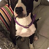 Adopt A Pet :: Vespa - Dayton, OH