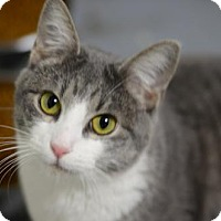 Domestic Shorthair Cat for adoption in Atlanta, Georgia - Lenny	162096