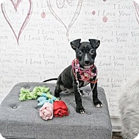 Adopt A Pet :: Raven - West Allis, WI