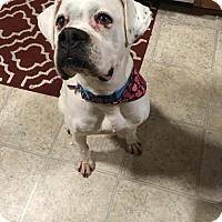 Adopt A Pet :: Abigail - Wilmington, NC