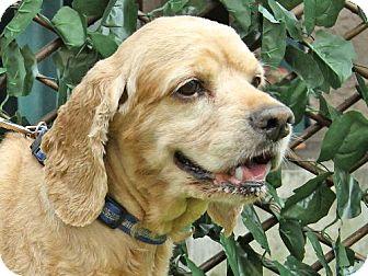 Cocker Spaniel Dog for adoption in Downey, California - Scooby Doo