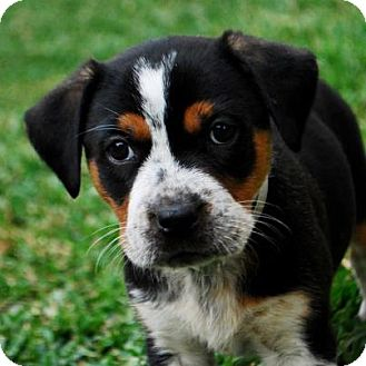 Bernese Mountain Dog/Rottweiler Mix Puppy for adoption in Torrance, California - DAISY