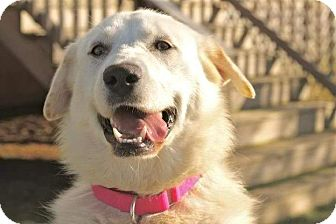 Labrador Retriever/Shepherd (Unknown Type) Mix Dog for adoption in Hagerstown, Maryland - Violet