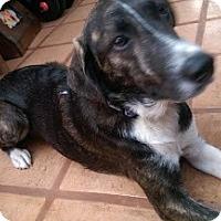 Adopt A Pet :: Chance - San Diego, CA