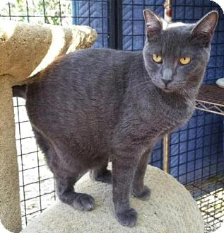 Domestic Shorthair Cat for adoption in Alhambra, California - Maggie