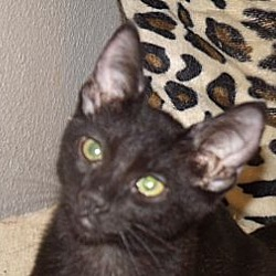 Photo 1 - Domestic Shorthair Cat for adoption in Scottsdale, Arizona - Sky
