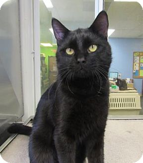 Domestic Shorthair Cat for adoption in Northfield, Minnesota - Ferguson