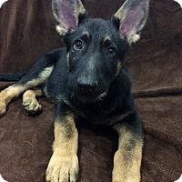 Adopt A Pet :: Gideon-Pending! - Detroit, MI