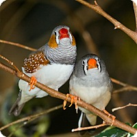 Adopt A Pet :: Zebra Finches - Shawnee Mission, KS