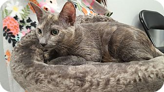 Domestic Shorthair Kitten for adoption in Pasadena, California - Tia