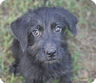 Schnauzer (Giant)/Labrador Retriever Mix Puppy for adoption in Glastonbury, Connecticut - Brillo~meet me~