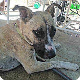Anatolian Shepherd/German Shepherd Dog Mix Dog for adoption in Santa Monica, California - Lilly