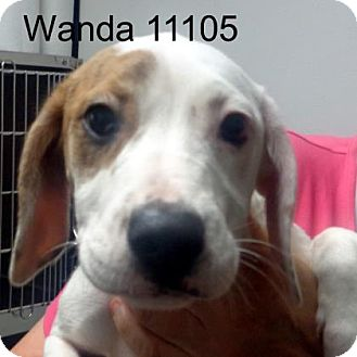 Boxer/Hound (Unknown Type) Mix Puppy for adoption in baltimore, Maryland - Wanda