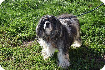 Cocker Spaniel Dog for adoption in North Judson, Indiana - Simon