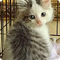 Adopt A Pet :: Liam - McKinney, TX