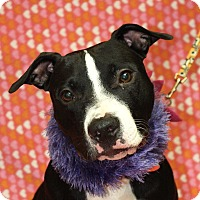 Pit Bull Terrier Mix Dog for adoption in Jackson, Michigan - Gracie