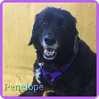 Adopt A Pet :: Penelope - Hollywood, FL