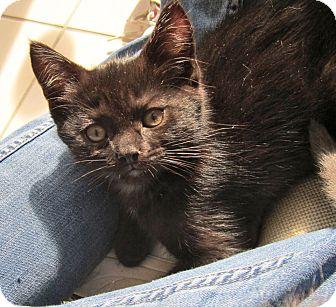 Domestic Shorthair Kitten for adoption in Covington, Kentucky - Liam