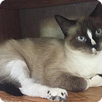 Snowshoe Cat for adoption in Colorado Springs, Colorado - Ebla