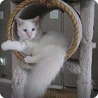 Adopt A Pet :: Snowball - Gilbert, AZ