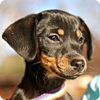 Adopt A Pet :: Greta - Sunnyvale, CA