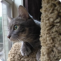 Domestic Shorthair Cat for adoption in Duluth, Georgia - Raksha