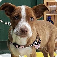 Adopt A Pet :: SweetTart - Pending! - Detroit, MI