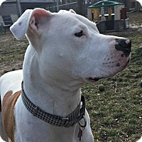 American Staffordshire Terrier Mix Dog for adoption in Spring Lake, New Jersey - Stitch