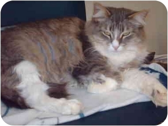 Domestic Longhair Cat for adoption in El Cajon, California - Peeps