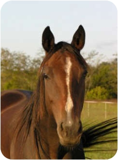 Thoroughbred for adoption in Lyles, Tennessee - Mona