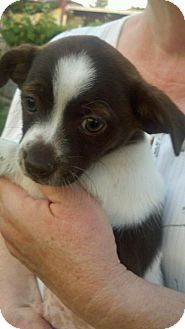Rat Terrier/Lhasa Apso Mix Puppy for adoption in Bakersfield, California - Russett