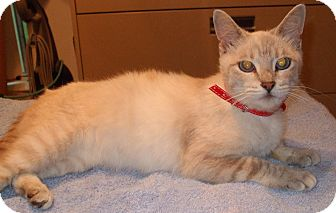 Siamese Cat for adoption in Warren, Michigan - Sophie
