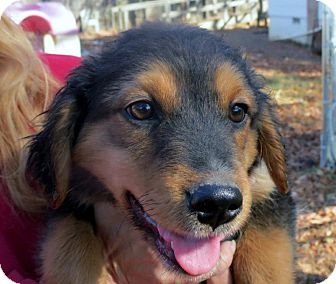 Spaniel (Unknown Type) Mix Puppy for adoption in Naugatuck, Connecticut - River