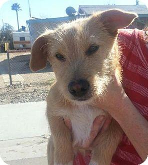 Terrier (Unknown Type, Small)/Dachshund Mix Dog for adoption in Phoenix, Arizona - Skip