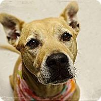 Adopt A Pet :: Ivy - Gilbert, AZ