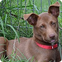 Adopt A Pet :: *Clover - PENDING - Westport, CT