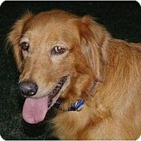 Adopt A Pet :: Yellow Rose - Denver, CO