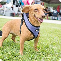 Adopt A Pet :: Jade - Weston, FL
