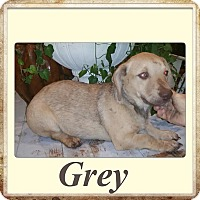 Adopt A Pet :: Grey meet me 11/6 - East Hartford, CT