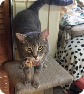 Domestic Shorthair Cat for adoption in Montreal, Quebec - Damien