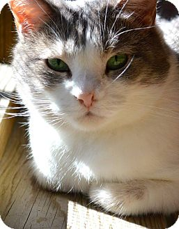 Domestic Shorthair Cat for adoption in St. Charles, Missouri - Layla