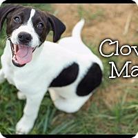 Adopt A Pet :: Clover (Pom-dc) - Washington, DC